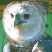 GUYANA Bird of Prey