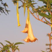 2015 SWAZILAND weird flowers